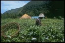Tea Harvesting Fort Portal